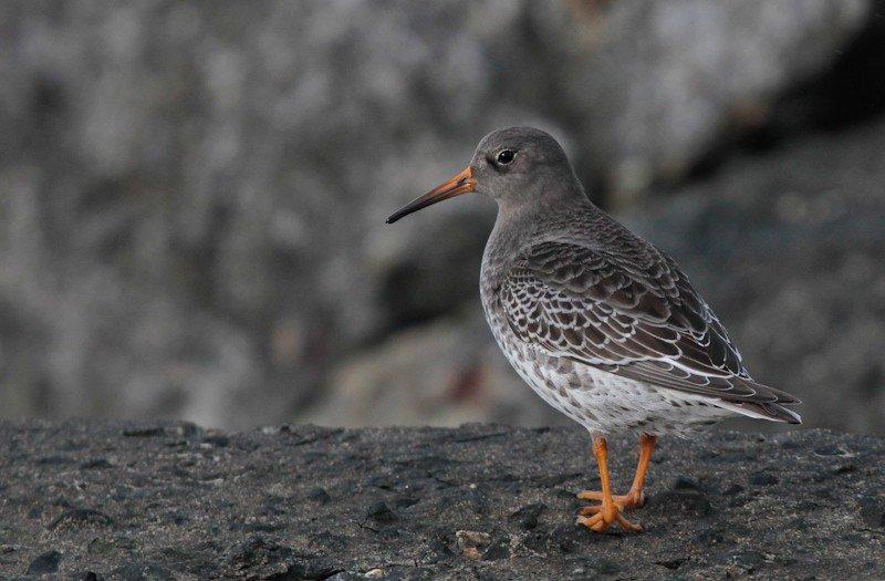 Dagtocht Texel-BirdingBreaks
