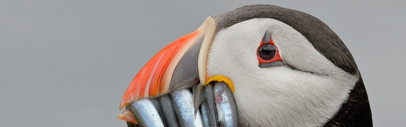 Papegaaiduider - Jan Bosch