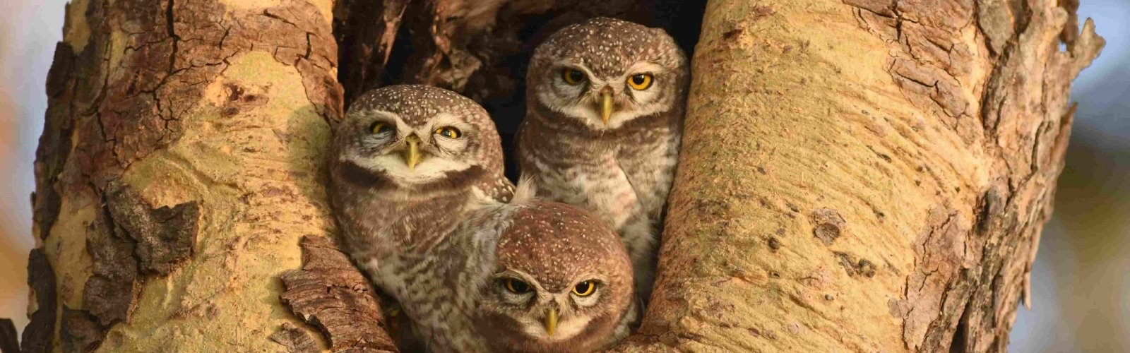 Spotted Owlet, Bagan, Myanmar, 2017 Laurens Steijn
