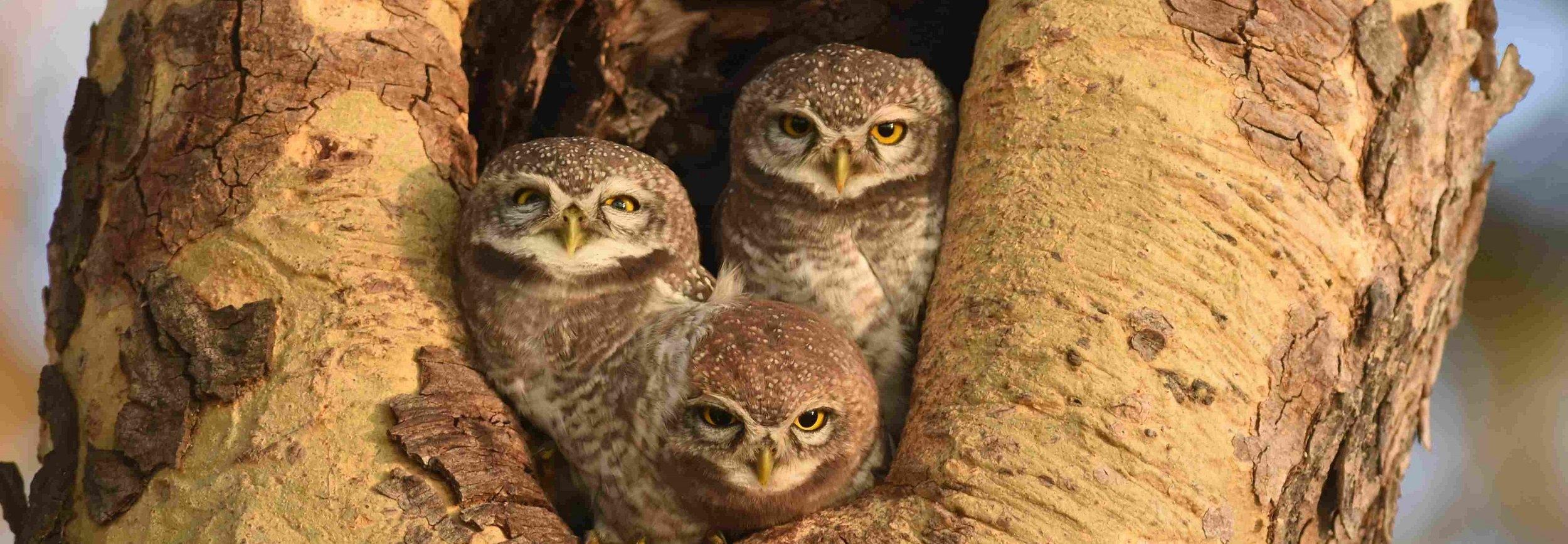Spotted Owlet, Bagan, Myanmar, 2017, Laurens Steijn