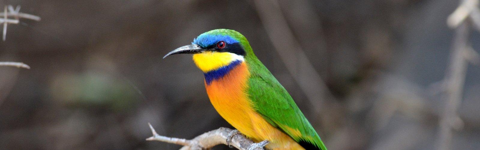 Ethiopian Bee-eater - Laurens Steijn