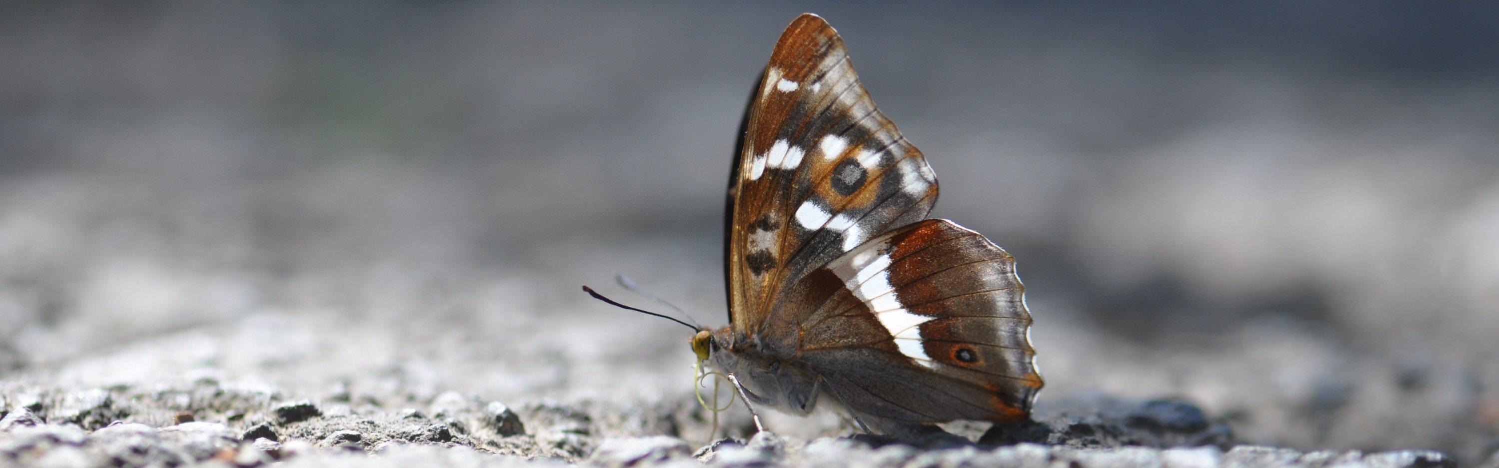 Grote Weerschijnvlinder - Urfttal, Duitsland - Remko Ivens