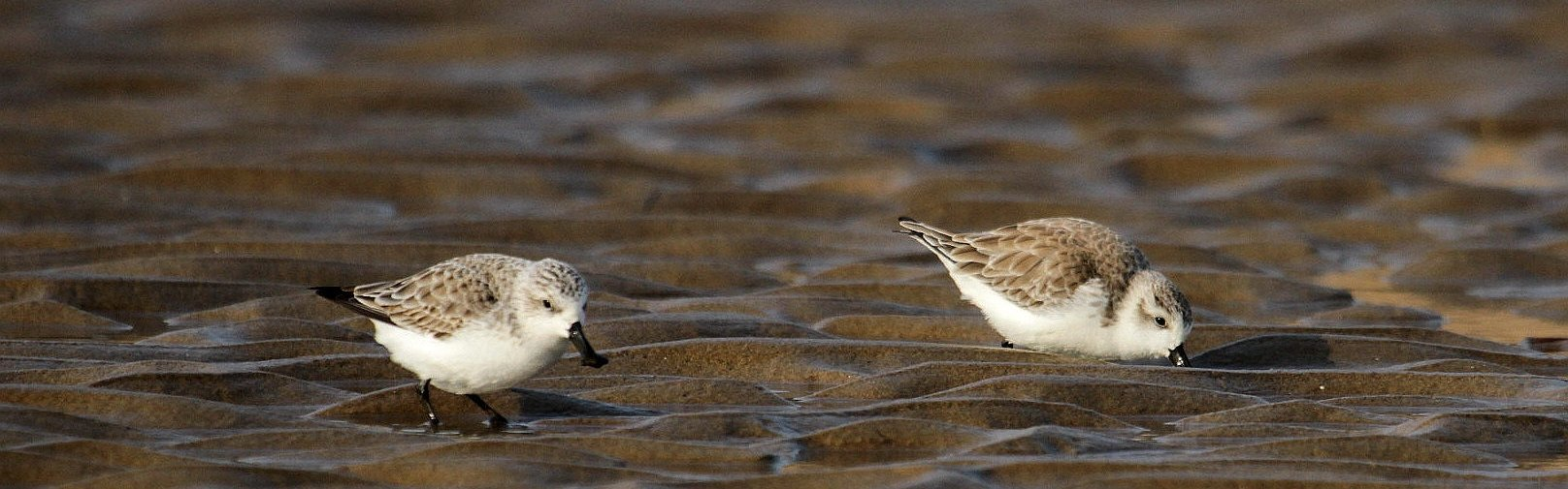 Spoon-billed Sandpiper - China Wild Tours