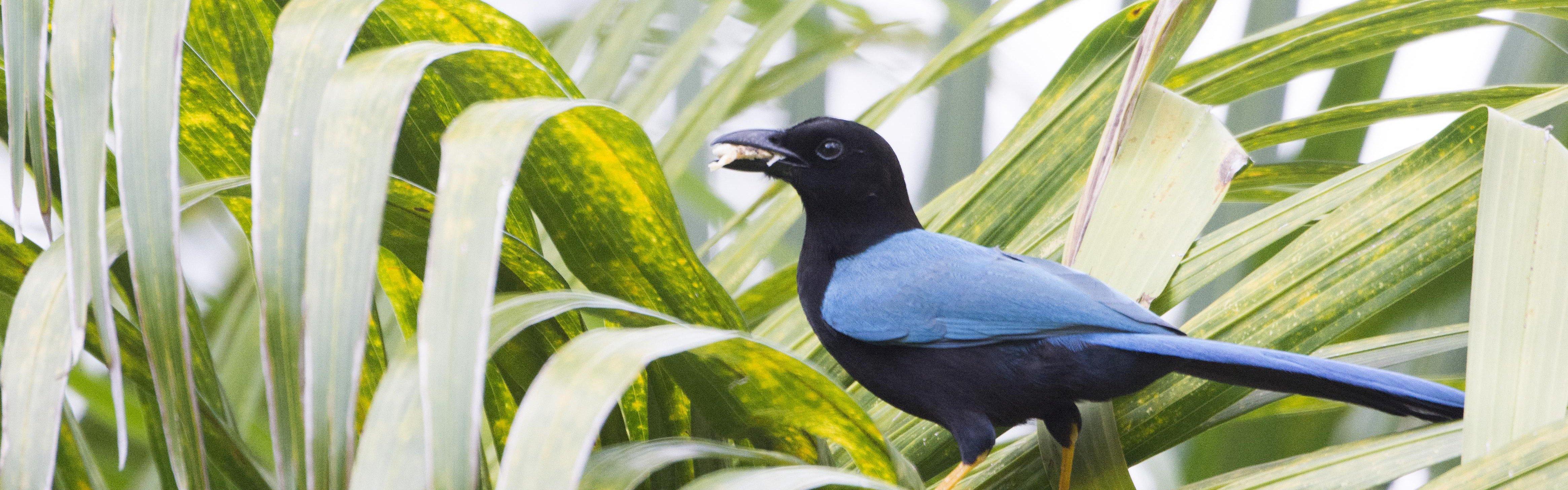 Vogelreis Mexico - Yucatan Jay - Jan Mulder