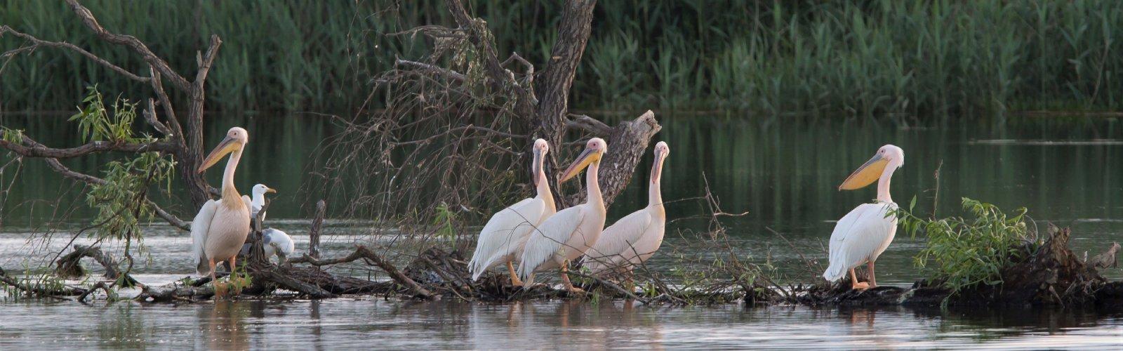 Roemenië - Donau Delta: Roze Pelikanen - Jos van den Berg