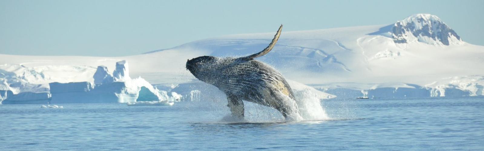 Humpback Whale breaching - Antarctica