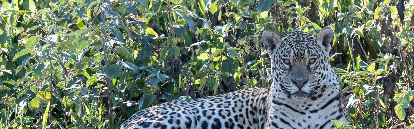 Jaguar in Pantanal, Brazilië - Jos v.d. Berg